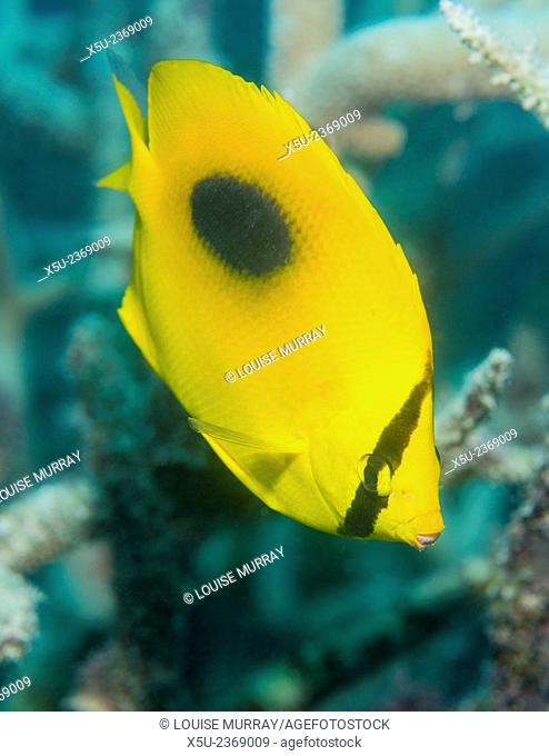 Ovalspot butterflyfish, Chaetodon speculum