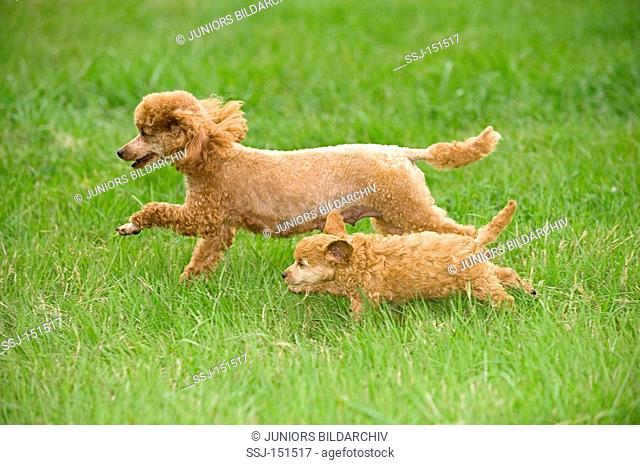 miniature poodle dog and puppy on meadow restrictions: animal guidebooks, calendars