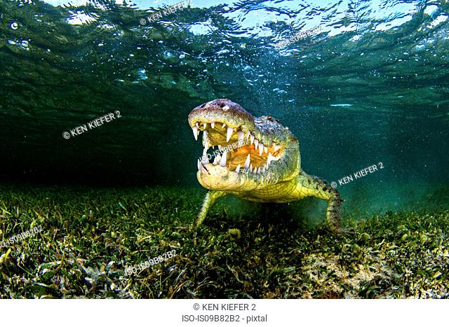 Underwater portrait of american saltwater crocodile on seabed, Xcalak, Quintana Roo, Mexico