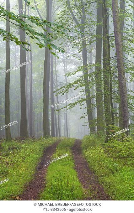 Path through misty beech forest, Spessart, Bavaria, Germany, Europe