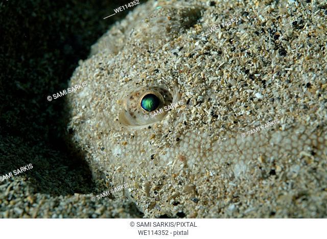 Iridescent eye of a Sole Fish Solea vulgarilis hiding in the sand on the bottom of Callelongue Creek, Marseille, France