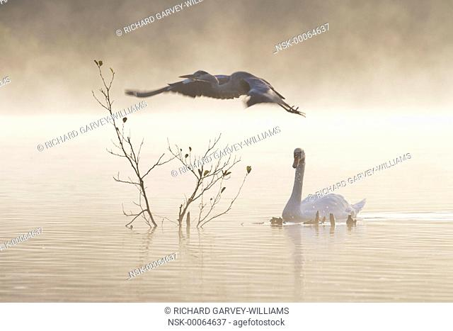Grey heron (Ardea cinerea) flies off from a perch in the middle of a mist-covered lake when a Mute Swan (Cygnus olor) approaches, United Kingdom, Devon