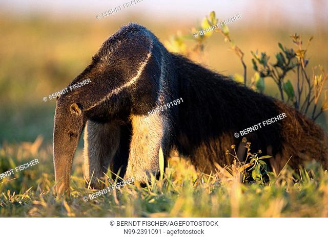 Giant anteater (Myrmecophaga tridactyla), looking for ants walking through bush and grassland, Mato Grosso do Sul, Brazil