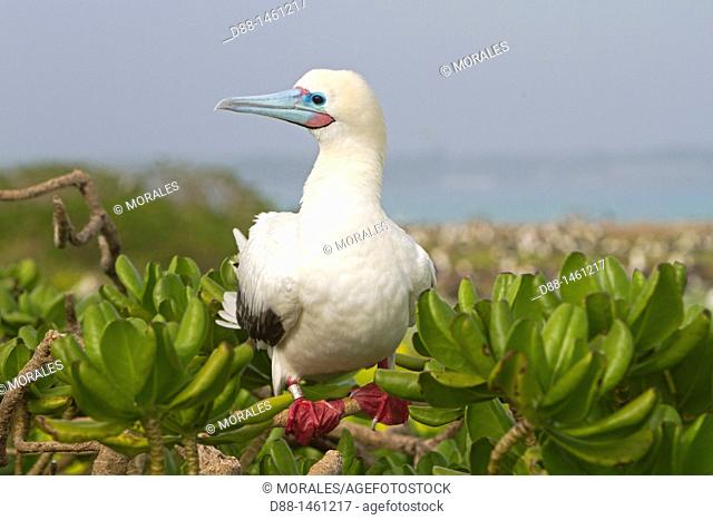 Hawaï , Midway , Eastern Island , Red-footed Booby  Sula sula