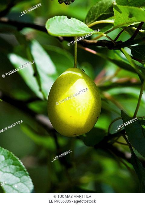 A plum tree Prunus domestica