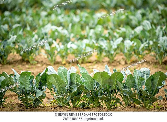 Row of broccoli plants in Clinton, Maryland, USA