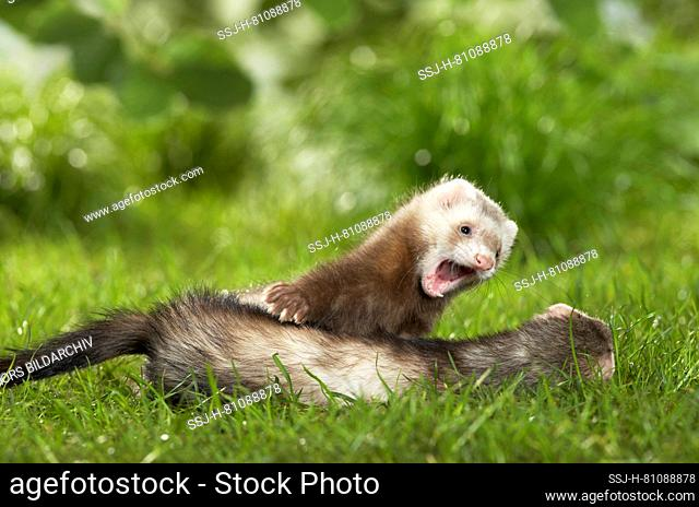 Ferret (Mustela putorius furo). Mother and young in a meadow. Germany em