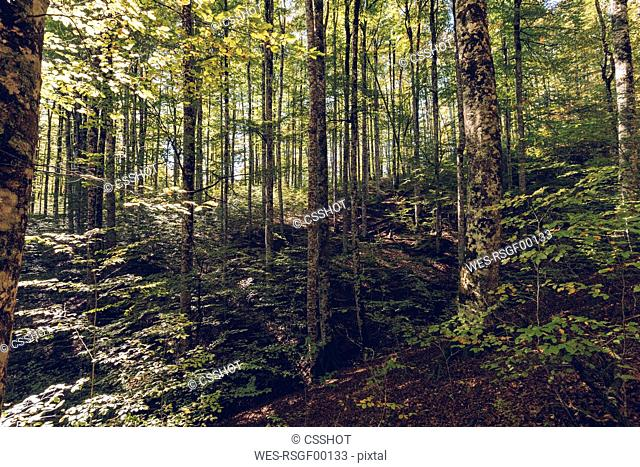 Spain, Navarra, Irati Forest, lush forest