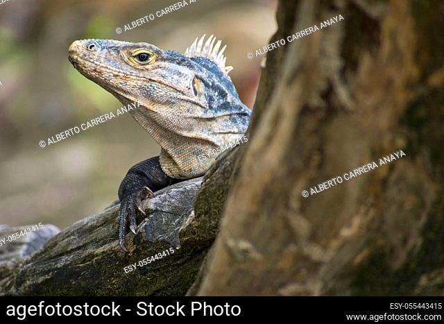 Black Iguana, Black spiny-tailed Iguana, Black Ctenosaur, Ctenosaura similis, Marino Ballena National Park, Pacific Ocean, Uvita de Osa, Puntarenas, Costa Rica