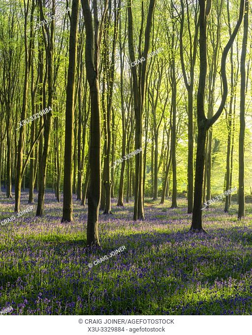 Spring morning sunlight in a bluebell woodland. North Somerset, England