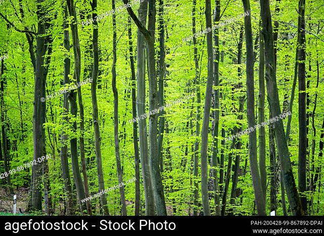 28 April 2020, Mecklenburg-Western Pomerania, Baumgarten: Beech trees stand in a wooded area near the Warnowtal. Photo: Jens Büttner/dpa-Zentralbild/dpa