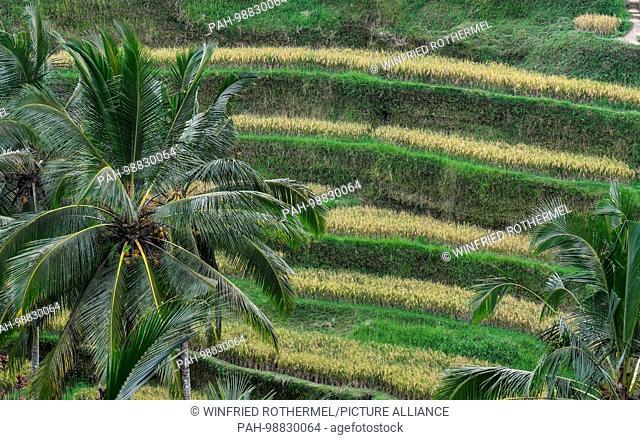 rice terraces near Ubud, Bali, Dec. 19,2016 | usage worldwide. - Ubud/Bali/Indonesia