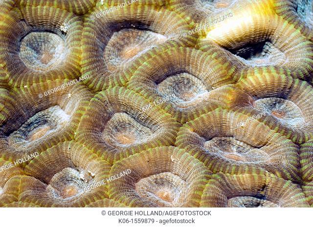 Stony coral - Favia rotundata Family Faviidae Rinca, Komodo National Park, Indonesia