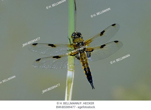 four-spotted libellula, four-spotted chaser, four spot (Libellula quadrimaculata), at a blade of grass, Germany