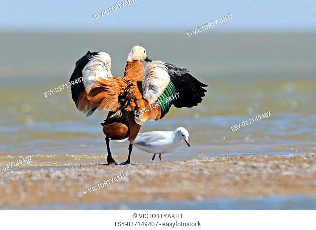 Ruddy shelduck (Tadorna ferruginea) and Slender-billed gull (Larus genei, Chroicocephalus genei) at Manych lake shore. Kalmykia, Russia