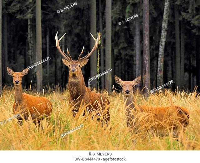 red deer (Cervus elaphus), stag and hinds in tall grass in the rutting season, Germany, Saxony
