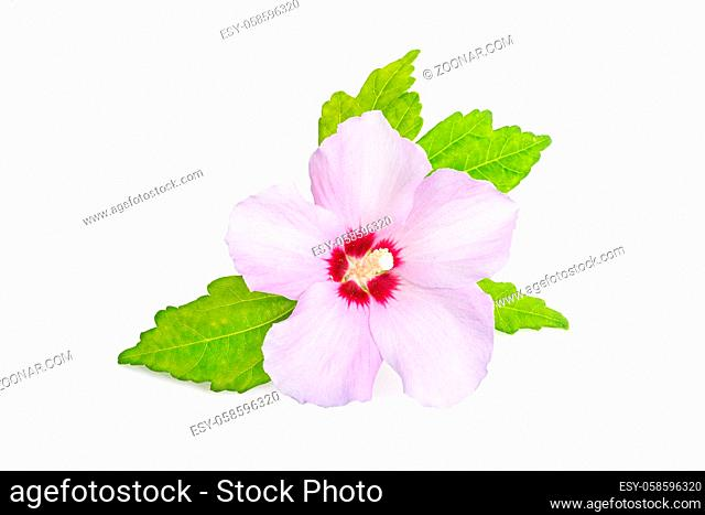 Pink or purple Rose Of Sharon flower isolated on white background. Hibiscus syriacus L