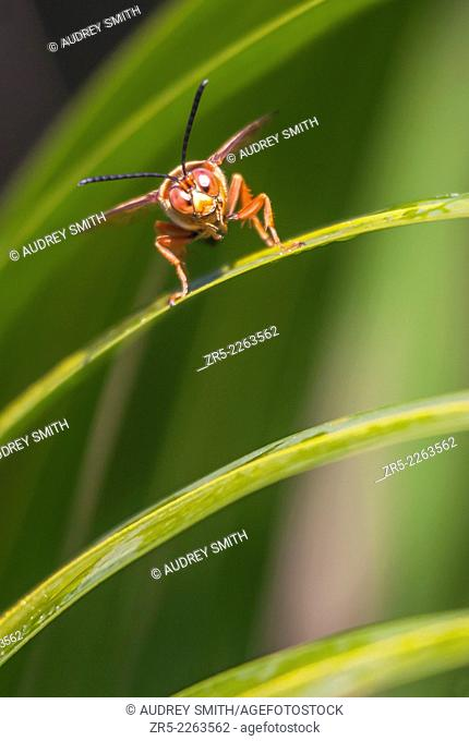 A cicada killer wasp (Sphecius speciosus) faces down a threat from the slope of a palm leaf; Florida, USA