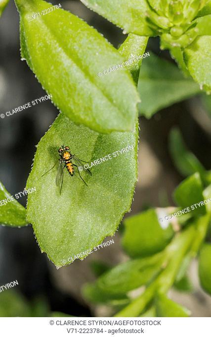Texan Long-legged Fly (Condylostylus sipho) Hunting on Fan Flower (Scaevola hybrid) Leaf