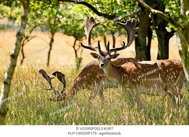 Two Fallow deer (Dama dama) bucks with antlers covered in velvet in summer