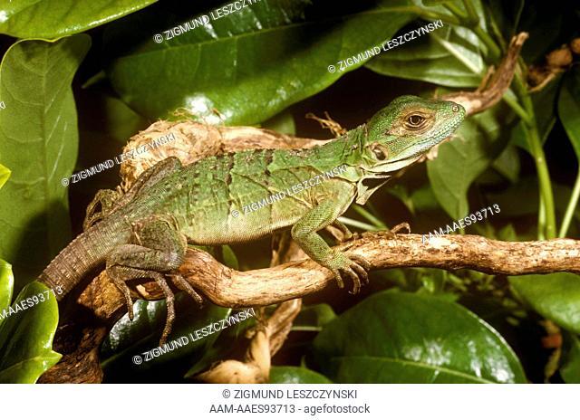 Spiny-tailed Iguana (Ctenosaura similis) juvenile Mex. to Panama