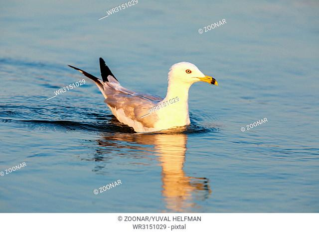 California Gull (Larus californicus) Wading in the Golden Hours