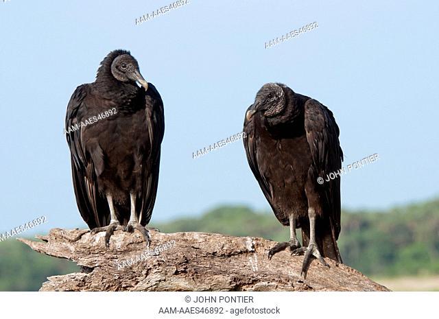 Black Vulture, Coragyps atratus, Myakka River State Park, Florida, USA