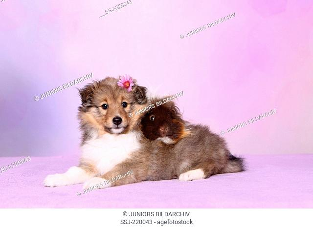 Shetland Sheepdog. Puppy (6 weeks old) and a long-haired guinea pig lying. Studio picture against a pink background