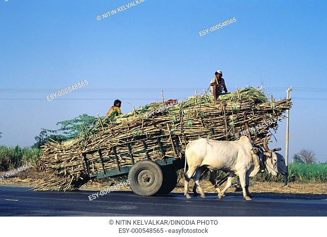 Bullock cart heavily loaded by sugarcane for factory , Dist Solapur , Maharashtra , India