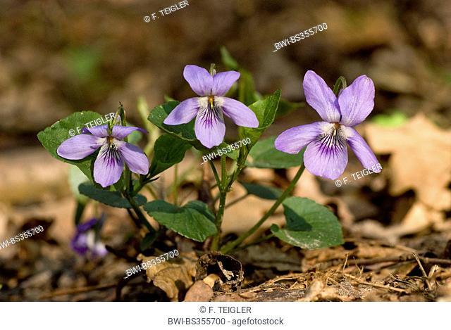 Violet (Viola bavarica, Viola x bavarica), blooming, Germany