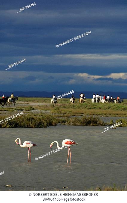 Flamingos in front of horses and riders near Saintes Maries de la Mer, La Camargue, Provence, France, Europe