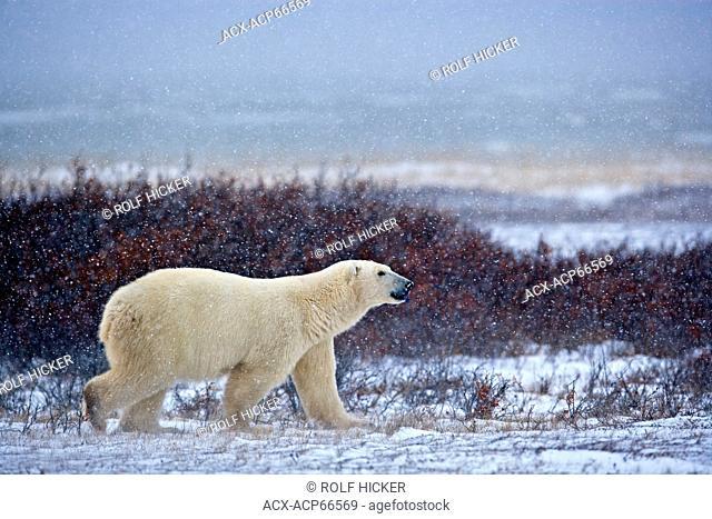 Polar Bear (Ursus maritimus), walking on the tundra near the shores of Hudson Bay in heavy snow fall, Manitoba, Canada