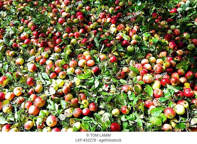Apples on grass, Styria, Austria