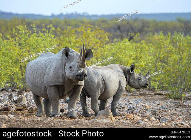 A White rhinoceros or square-lipped rhinoceros (Ceratotherium simum) (endangered species) mother and calf in the Ongava Game Reserve