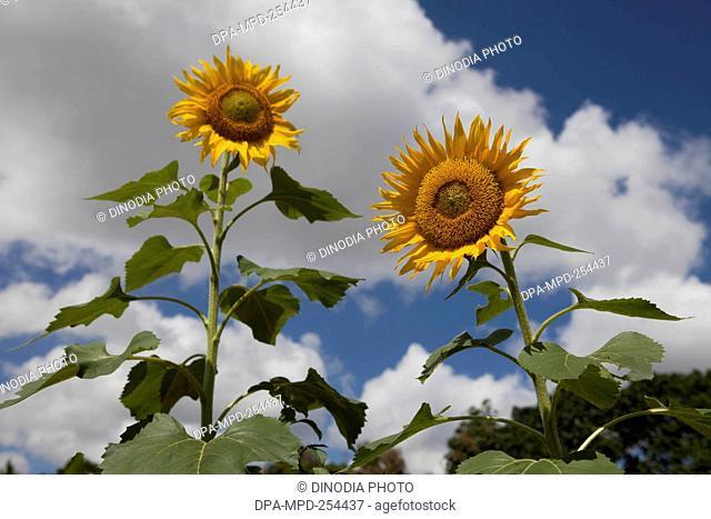 Sunflower, india, asia