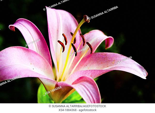 Lilium pynk perfection group, trumpet lily Liliaceae family, growing from bulbs Showy and Fragrant Flowers The blooms grow on stems to 120cm The flowers 20cm...