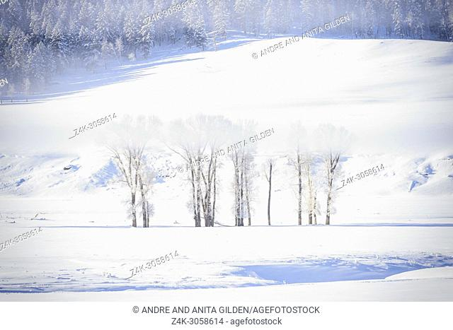Stand of Cottonwood trees in snow and mist, Lamar valley, Yellowstone national park, Montana, Wyoming, USA