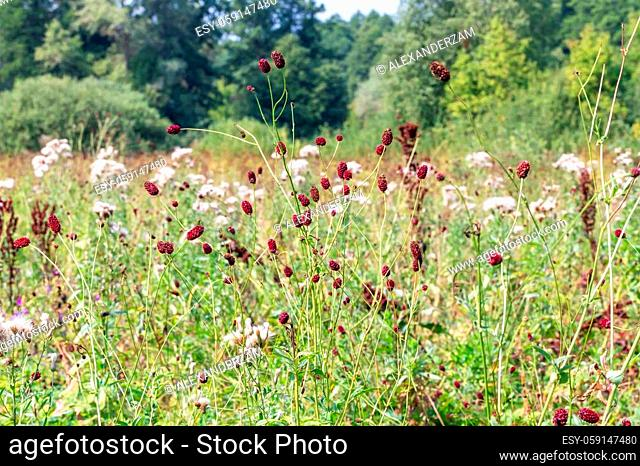 Sanguisorba officinalis herbs with red inflorescences on nature landscape