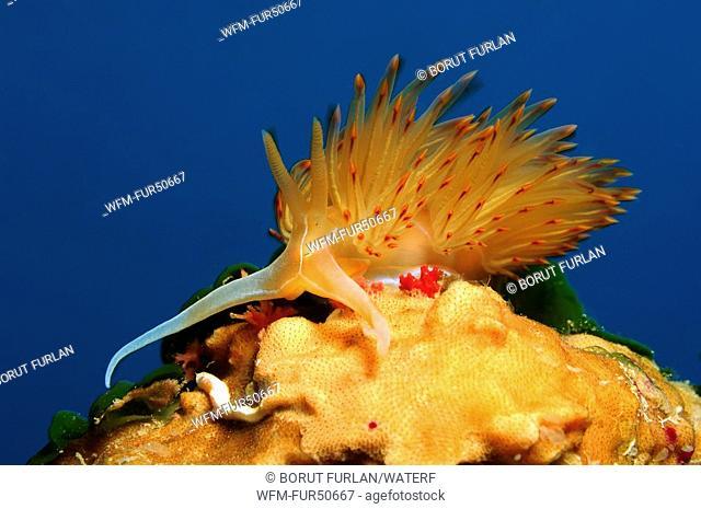 Orange Godiva Nudibranch, Godiva banyulensis, Vis Island, Adriatic Sea, Croatia