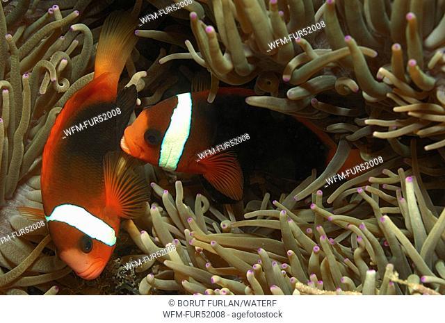 Tomato Clownfishes, Amphiprion frenatus, Alor, Lesser Sunda Islands, Indo-Pacific, Indonesia