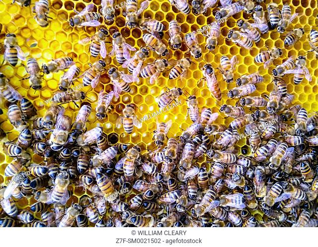 Honeybees on comb, with queen visible in upper right of image
