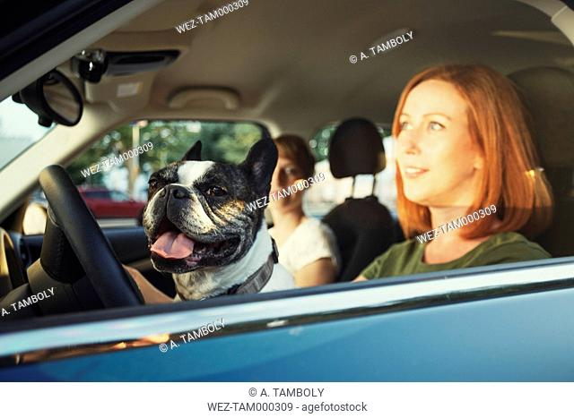 Portrait of French bulldog sitting behind steering wheel in the car of owner