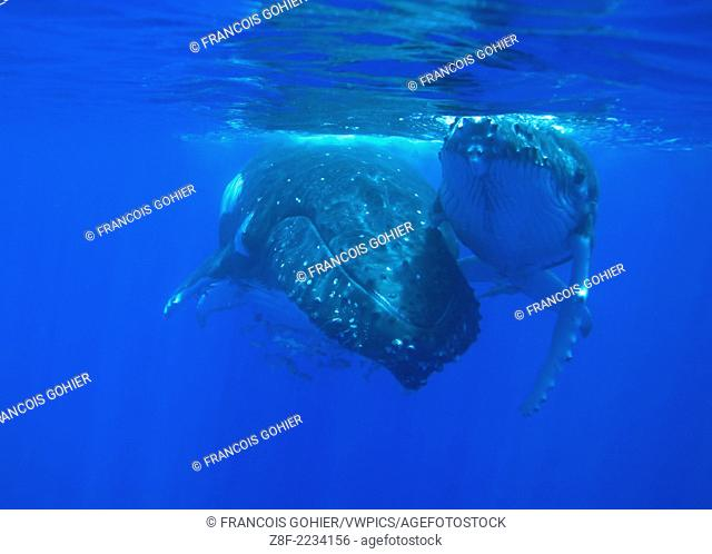 Humpback whale.Megaptera novaeangliae.Mother and calf resting near the surface.Vava'u, Tonga, South Pacific