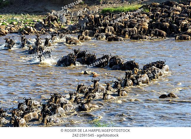 Blue wildebeest or common wildebeest, white-bearded wildebeest or brindled gnu (Connochaetes taurinus) crossing the Mara River