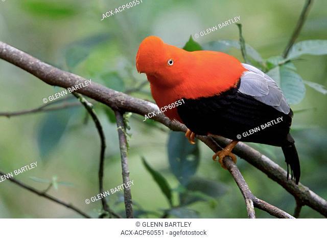Andean Cock of the Rock Rupicola peruviana perched on a branch in Peru