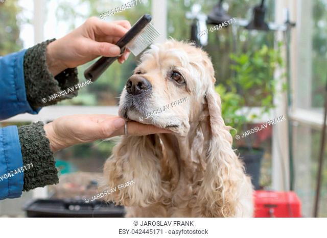 Combing the head of the American Cocker Spaniel in dog salon. Horizontally