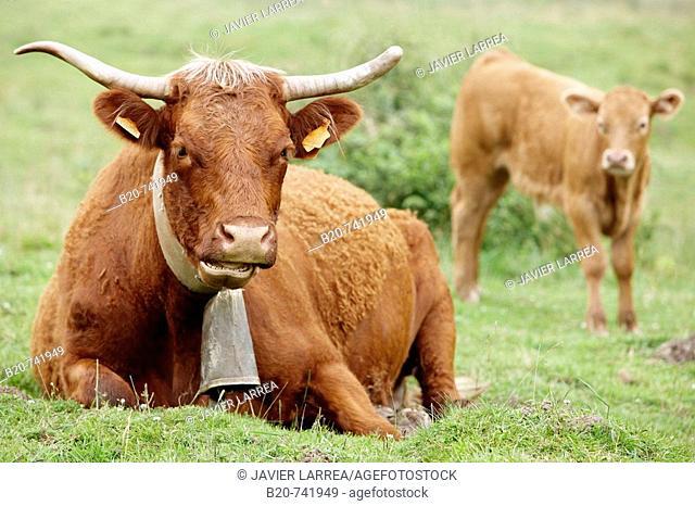 Pyrenean breed cattle, Belate, Baztan Valley, Navarra, Spain
