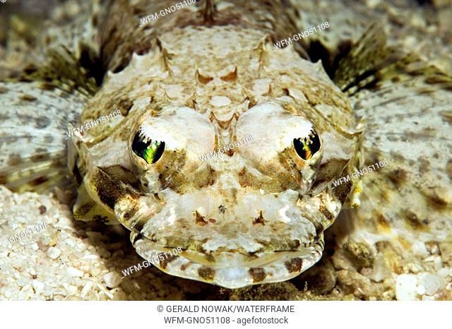 Crocodilefish, Thysanophrys celebicus, Visayas, Cebu, Philippines