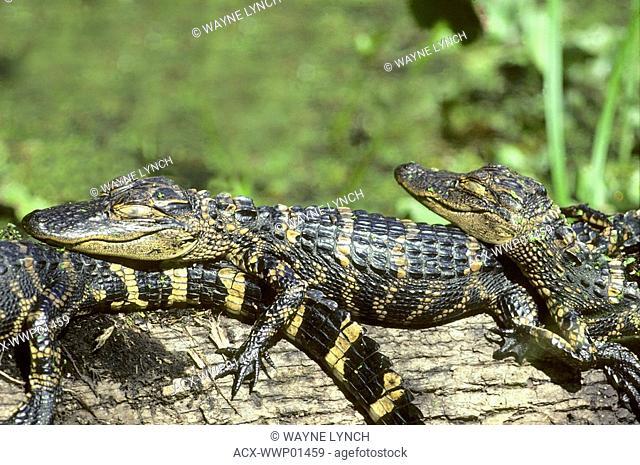 Hatchling American alligators Alligator mississippiensis basking in the sun, Florida, USA