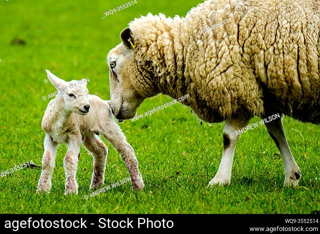 Ewe tends to her newly born lamb in springtime